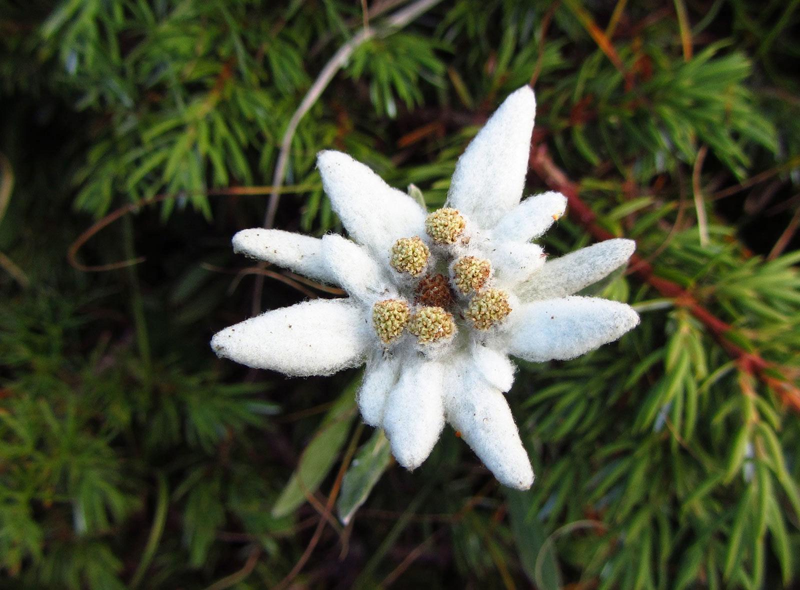 Natur Schweiz Edelweiss