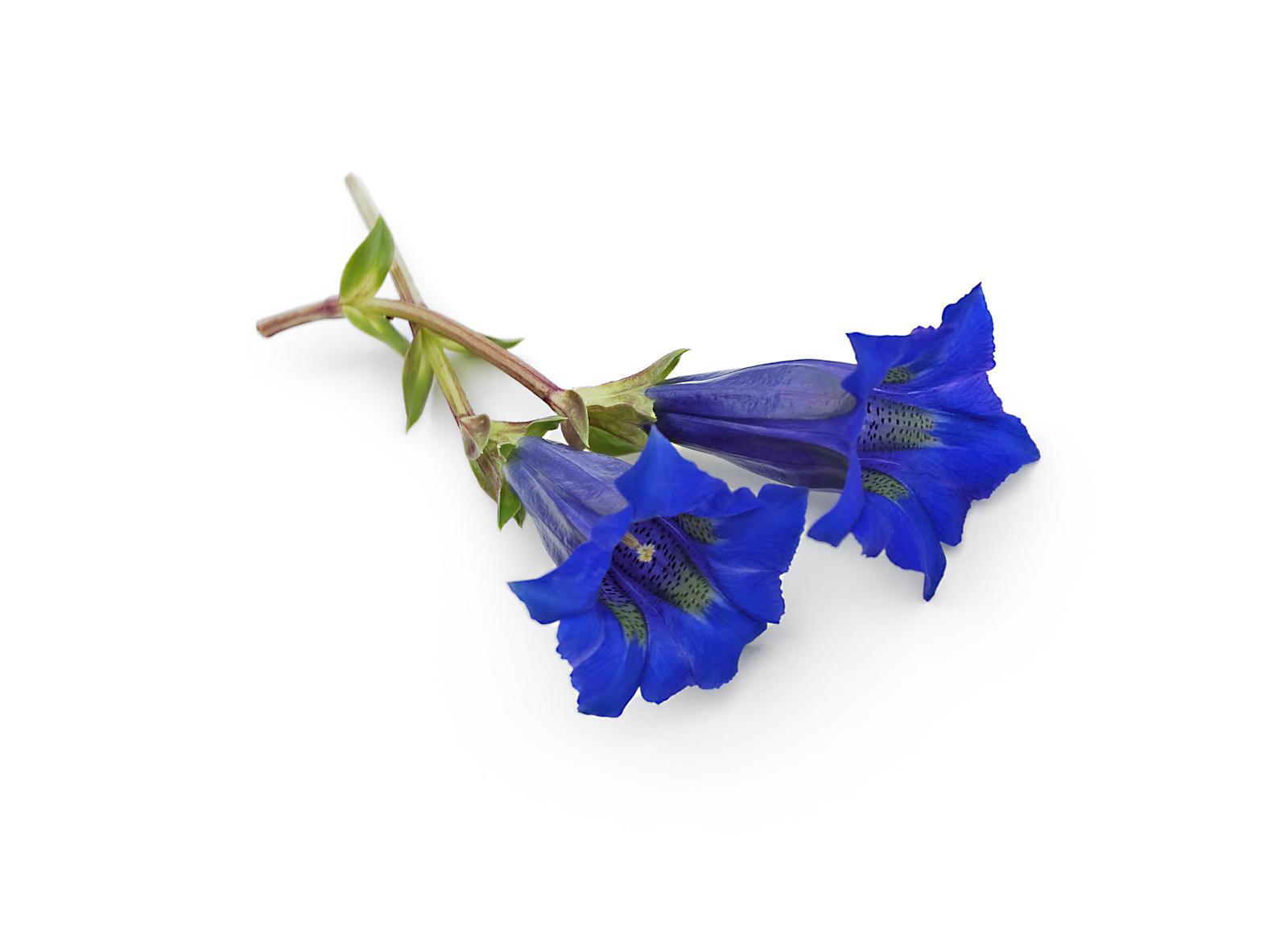 Enzian Blume aus dem Alpenraum
